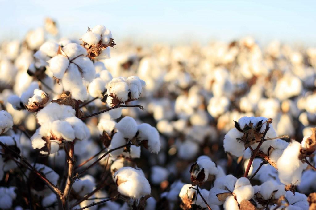 Cotton_history