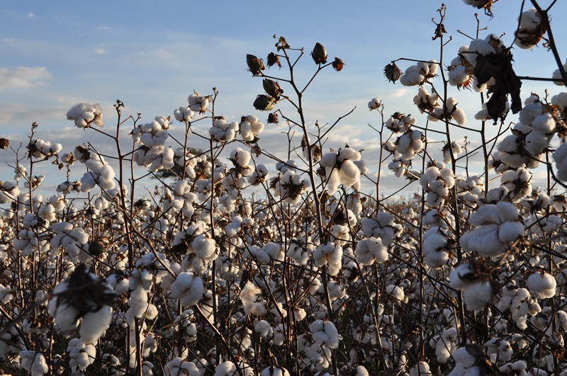 Moco cotton